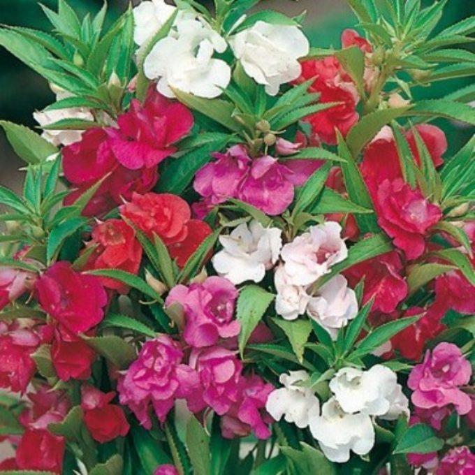 Stagionali archivi pagina 2 di 3 vivai ca de frati for I fiori della balsamina