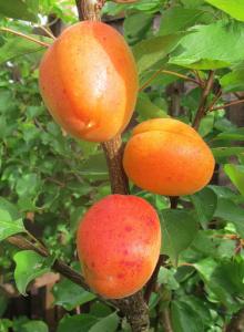 albero albicocco